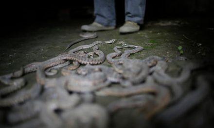 Risky business: China's snake farmers cash in on global venom market